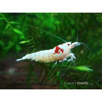 Camarão Red Crystal Sss - Mosura