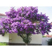 Quaresmeira Tibouchina Granulosa Sementes De Flor Para Mudas