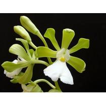 C Orquídea Encyclia Randii Alba 18 Cm