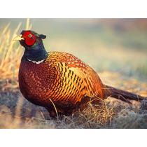 Guia Do Criador - Como Criar Faisão Aves Ornamentais