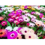 1000 Sementes De Flor Ficoide Tapete Magico #70bh