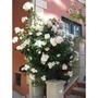 10 Sementes De Rosa Trepadeira Branca + Frete R$5,00