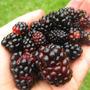 Amora Preta Gigante Blackberry - Rubus Sementes Para Mudas