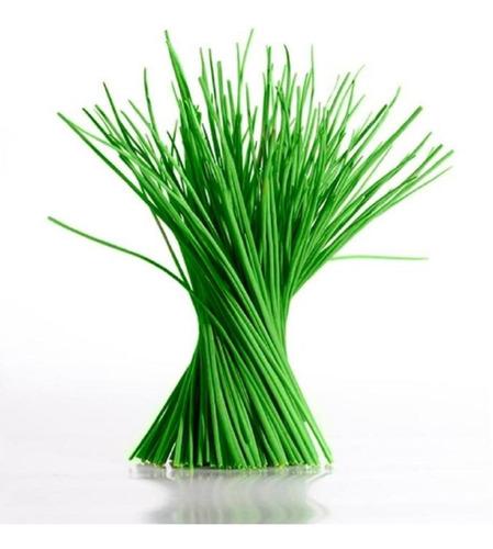 300 Sementes De Cebolinha Verde Gigante