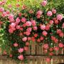 Mudas Da Flor Mini Rosa Trepadeira - Ideal Para Cerca Viva!