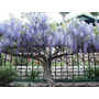20 Sementes De Glicinia Azul (wisteria Sinensis) Bonsai