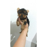 Promoção Corona Filhote Yorkshire Terrier Mini Fêmea