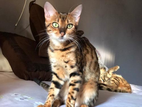 Gatos Bengal Femea Não Castrado Com Pedigree