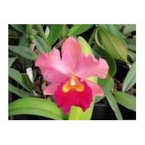 C Orquídea Cattleya Blc. Bonag Queen Panamint Adulta
