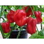 80 Sementes Habanero Red #dvy1