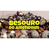 Besouro Do Amendoim (400 Unidades) Frete Grátis