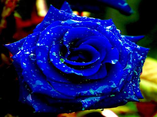 7d4302aae 250 Sementes De Rosas Azul Flor Exóticas Pra Fazer Mudas. R  14.99. 25  vendidos