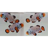 Peixe Palhaço Frostibite !!! Para Aquario Marinho !!!!