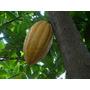 Frutos De Cacau S/ Agrotóxicos Orgânico Para Plantio