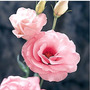 Sementes Lisianthus Super Rosa !! Inedito !! Espetacular !!