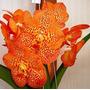 Orquidea Vanda Flores Laranjas Pintalgada Adulta Já Floresce