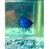 Peixe Betta Crowntail Azul Royal Black Head Hm - Macho