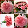 50 Sementes Da Linda Flor Cravo Rosa Vaso Jardim Fretegratis