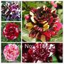 Rosa Stripe Show - Super Kit Sortido - Sementes Flor P/ Muda
