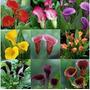 Copo De Leite Colorido 25 Sementes -frete Gratis