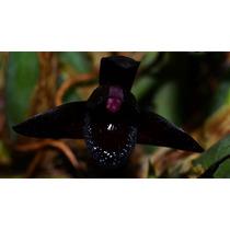 Muda De Orquídea - Maxilaria Schukeana - Orquídeas