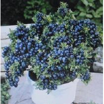 Sementes Blueberry Mirtilo Anão De 50 A 70 Sementes + Brinde