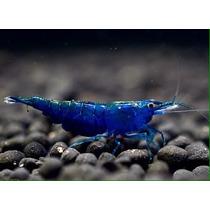 Camarão Blue Dream Ornamental Água Doce