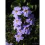 Mudas De Thunbergia Grandiflora Azul