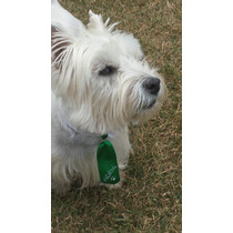 Filhote De West White Highland Terrier