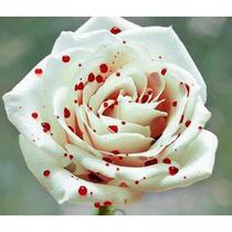 12 Sementes Rosa Branca Mancha Vermelha Bonsai Flor Exótica