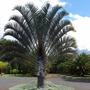 Palmeira Triangular, Triangulo - Mudas 40 Cm