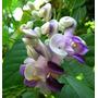 Sementes De Trepadeira Caracol Perfumada - Vigna Caracalla