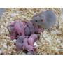 Camundongos E Neonatos Para Alimentação De Serpentes Corn