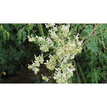 Árvore Moringa Oleífera - 25 Sementes