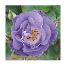 Rosa Trepadeira Light Blue Sementes Flor Para Mudas