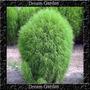 Kochia Verde Sementes Grama Capim Flor Para Mudas