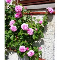 Rosa Trepadeira Pink Sementes Flor Para Mudas