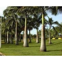Mudas De Palmeira Imperial (50 Mudas De 1,5 A 2 Metros)