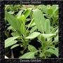 Salvia Ervas Condimento Tempero Sementes Para Mudas