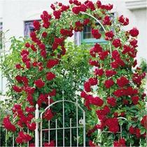 Rosa Trepadeira Dark Red Sementes Flor Para Mudas