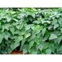 Mucuna Preta 3 Kg Sementes Leguminosa Proteína