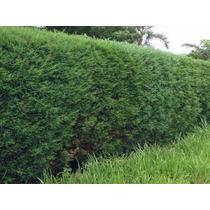 Cedro / Cipreste Cerca Viva 100 Sementes P/ Mudas Bonsai