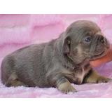 Bulldog Frances Femea Blue Tan/ Canil Minion Bull Filhote