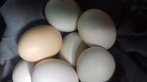 Ovos De Galinha Garnizé