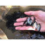 Peixe Vivo Tilápia Tailandesa 4 A 5cm Alevino - 100 Unidades