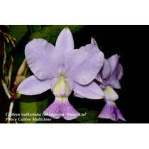 C.walkeriana Var.caerulea ´ Runa Azul´