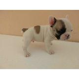Bulldog Francês Anao ( Nao Enviamos Para Outro Estado)