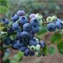 Mudas De Mirtilo - Blueberry Plantio Vaso