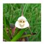Orquidea Dracula Lotax - Orquídea Adulta - Ultimas Unidades Original