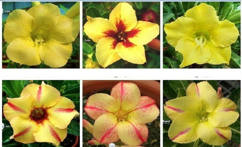 05 Sementes Rosa Do Deserto  Mix Amarelas